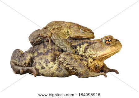 brown common toads mating full length animals isolated over white background ( Bufo )