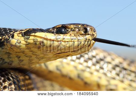 macro shot of Elaphe sauromates head portrait of one of the largest snakes in Europe ( Blotched snake photographed in Dobrogea Romania )