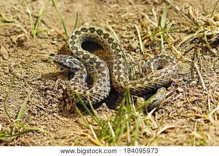 male meadow adder basking in natural habitat ( Vipera ursinii rakosiensis )