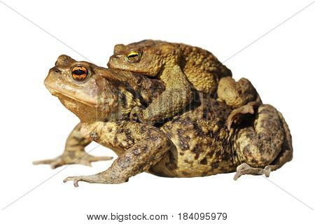 mating common toads isolated over white background ( Bufo )