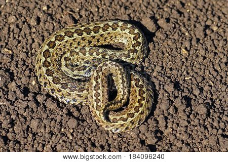 meadow viper on the ground ( Vipera ursinii rakosiensis ) one of the rarest snakes in Europe listed as endangered species