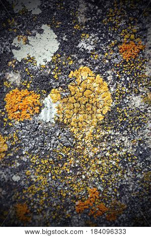 colorful reindeer moss growing on old construction stone