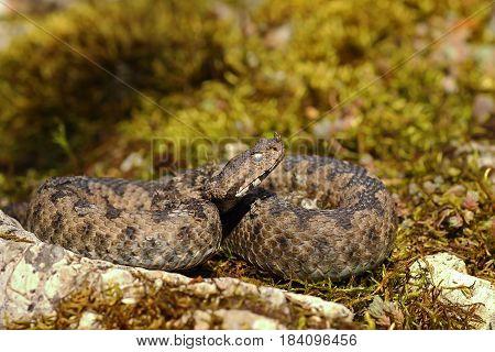 nose horned viper basking in natural habitat ( Vipera ammodytes one of the most dangerous european venomous snakes )