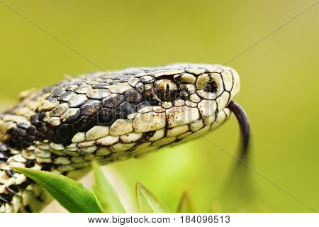 portrait of female Vipera ursinii rakosiensis the hungarian meadow adder one of the rarest snakes in Europe listed by IUCN as endangered