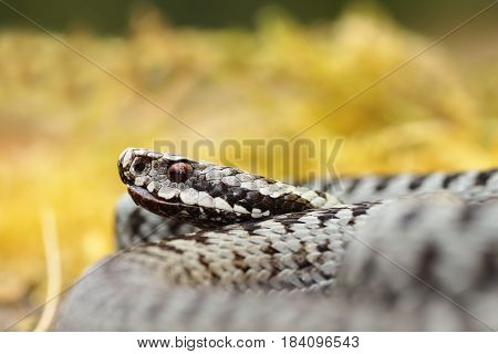 portrait of male Vipera berus the mot common poisonous snake in Europe
