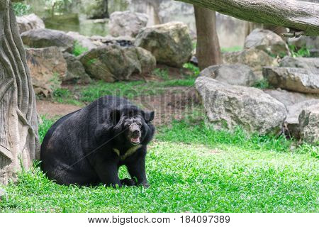Asiatic black bear hold branch in mouth