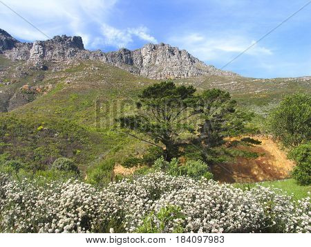 FROM CAPE TOWN SOUTH AFRICA, LANDSCAPE, WITH FLOWERS IN THE FORE GROUND AND PART OF THE TABLE MOUNTAIN RANGE IN THE BACK GROUND