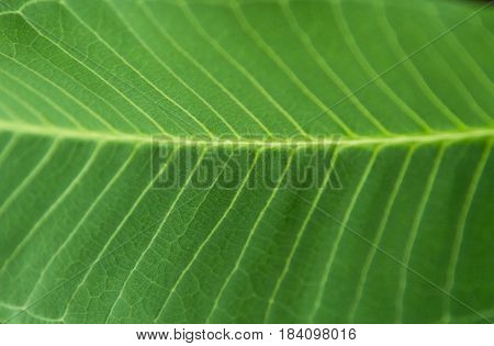 Selective Focus Close Up Green Leaf.