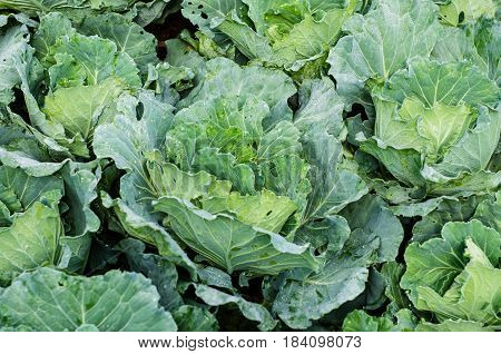 Green organic cabbages farm Cabbage garden Fresh cabbages
