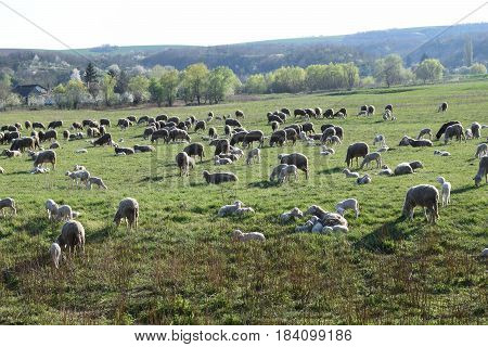 Sheep on the sheep, sheep's flock on the meadow