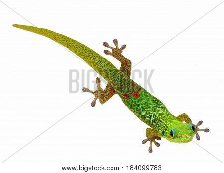Green Geckos are unique among lizards found in warm climates