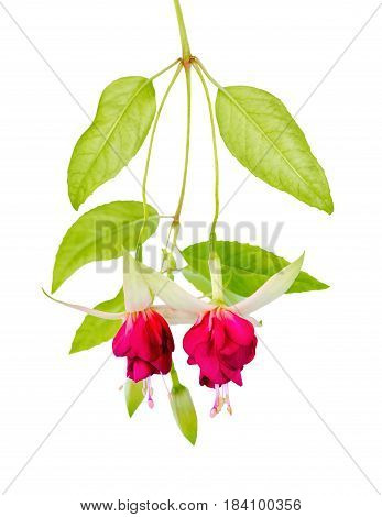 Beautiful Blooming Hanging Twig Of Red And White Fuchsia Flower Is Isolated On White Background, Clo