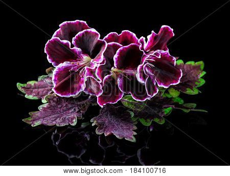 Red And Green Nettle Leaf With Velvet Purple Geranium Flower Isolated On Black Background, Royal Pel