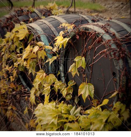 Wine barrel in a wall with vine leaves suitable as a wrapper or background