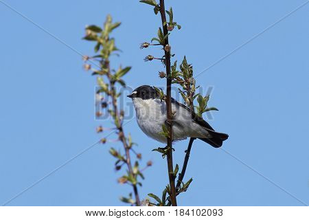 European pied flycatcher resting on a branch with vegetation in the background