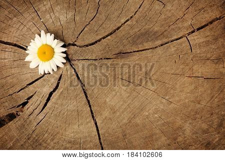 daisy on wooden background