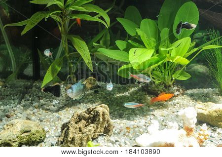 aquarium with many fish and natural plants.Tropical fishes.aquarium with green plants
