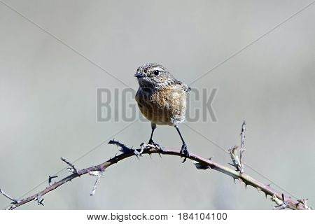 European stonechat resting on a branch in its habitat