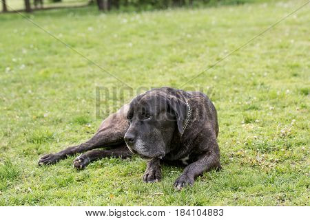 Cane Corso dog portrait in outdoors.Selective focus