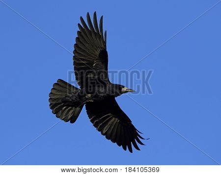 Rook in flight with blue skies in the background
