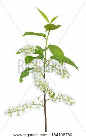 Branch of bird-cherry tree (Prunus padus) isolated on a white background