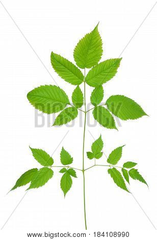 Aruncus dioicus leaf isolated on white background