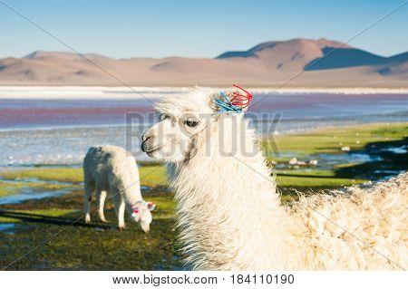 Portrait of white alpaca on the Laguna Colorada Altiplano Bolivia.