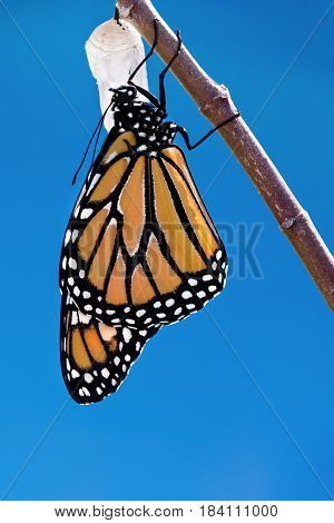 Monarch butterfly (danaus plexippus) emerging from the chrysalis. Blue sky background with copy space.