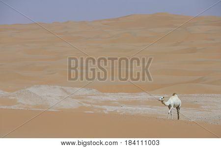 Camels In Liwa Desert