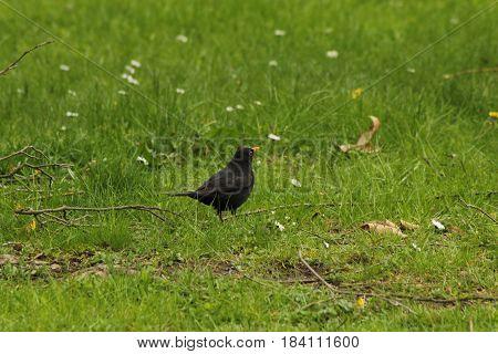 European blackbird/ The European blackbird on meadow.