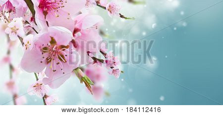 Cherry tree branch with blooming flowers in garden over blue bokeh background banner