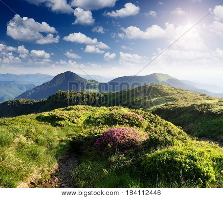 Summer landscape with lush greenery and pink flowers of rhododendron. Tourist path in the mountains. Beauty in nature, sunny day. Carpathians, Ukraine, Europe