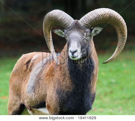 majestic mouflon on autumn background