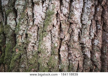 Natural Texture Of Oak Bark With Moss, Close