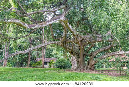 The Benjamin Ficus