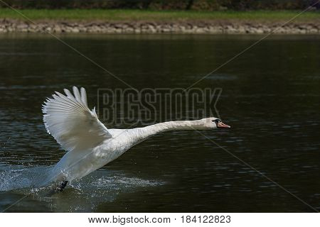 Flying / landing white swan on the Vah River