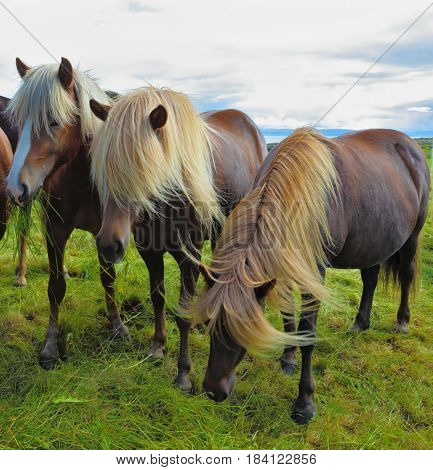 Three Icelandic horses on the shore of the fjord. Beautiful horse chestnut suit with white manes on free ranging