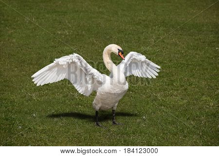 White swan waving wide wings on the riverbank