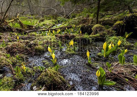 Swamp with flowering skunk cabbage in north Idaho.