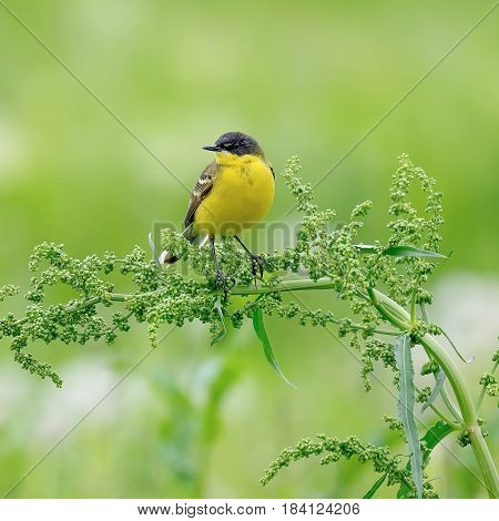 A stunning Yellow Wagtail (Motacilla flava) sitting on a branch. Green background
