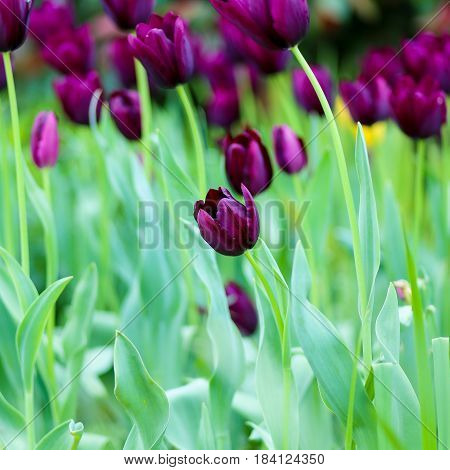 Tulipa 'queen Of The Night'. Black Tulip Flower, Selective Focus