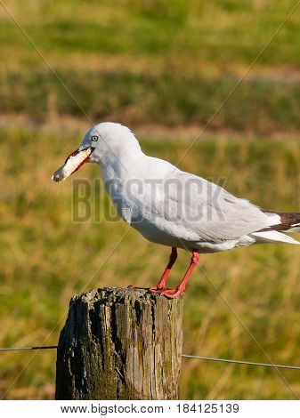 Seagull on postr with crust of bread in mounth.