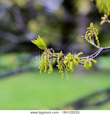 Oak Tree Twig With Male Catkins And Young Leaves
