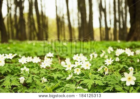 Spring sunny forest with primroses. A blooming glade.