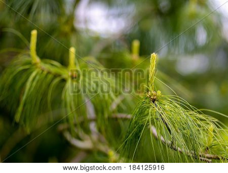 Young Growth Of Holford Pine With A Blurry Background