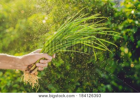 Bunch Of Green Onions In A Hand Of A Man With A Splashes Of Water In Air.
