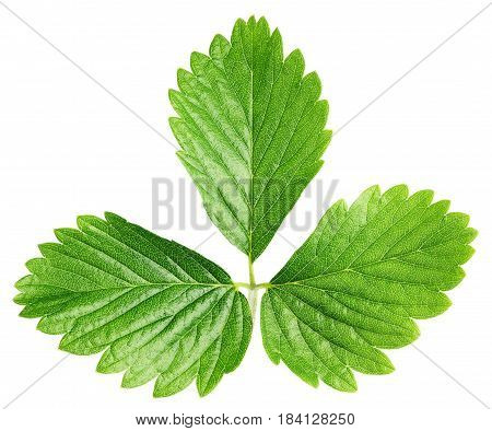 Fresh green strawberry leaf isolated on white background. Strawberry leaf with clipping path