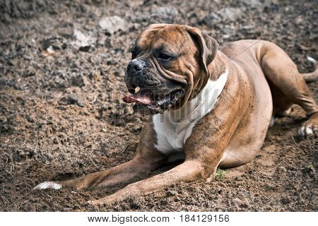 dog of the breed the German boxer lies on the sand, the front paws are extended forward, the mouth is open, the tongue is pushed out, processed by preset, brown color, the ears and tail, dirty face