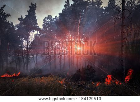 fire. wildfire burning pine forest in the smoke and flames at sunset.