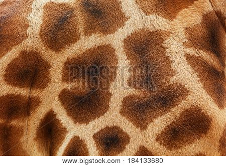 Beautiful giraffe skin pattern with brown marks on a beige background and space for text.
